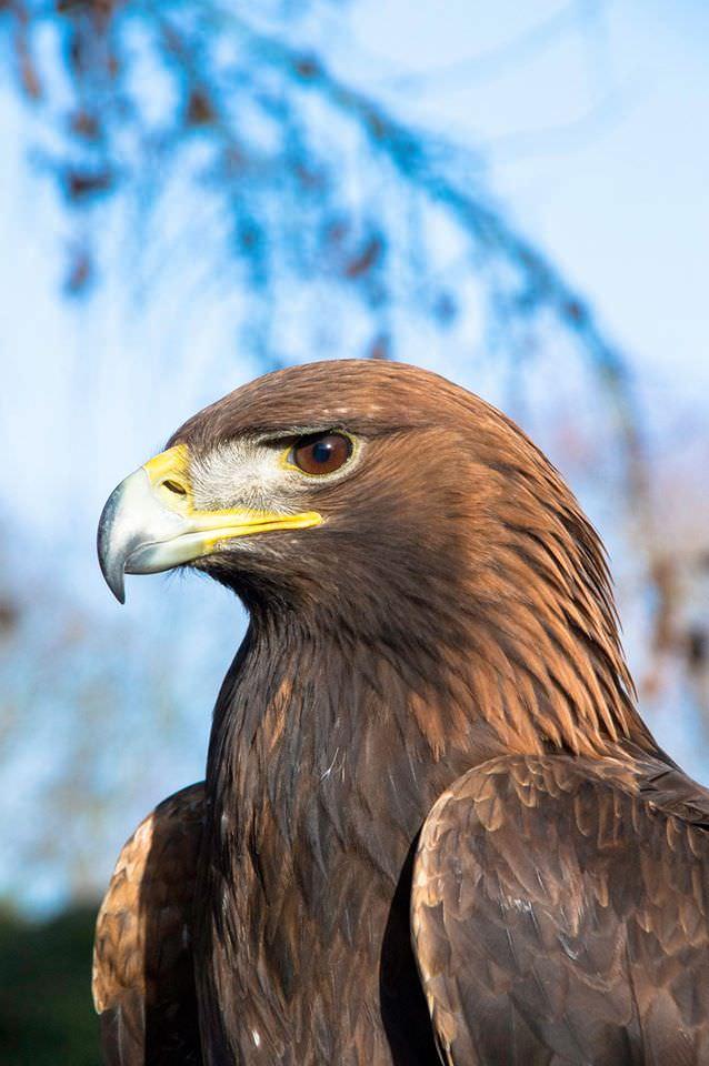 York Bird of Prey
